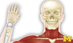 Cal Poly Pomona Online Courses Anatomy: Musculoskeletal and Integumentary Systems for Cal Poly Pomona Students in Pomona, CA