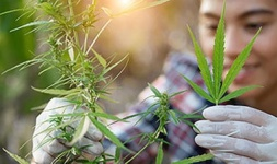 App State Online Courses Cannabis Cultivation and Processing for Appalachian State University Students in Boone, NC