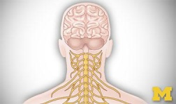 Cal Poly Pomona Online Courses Anatomy: Human Neuroanatomy for Cal Poly Pomona Students in Pomona, CA