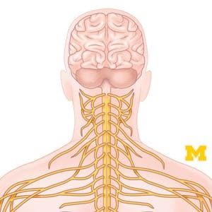 UCLA Online Courses Anatomy: Human Neuroanatomy for UCLA Students in Los Angeles, CA