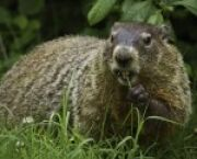 ASU West Campus News Groundhog Day: A Slightly Sarcastic Origin Story -- but It's True for Arizona State University at the West Campus Students in Glendale, AZ